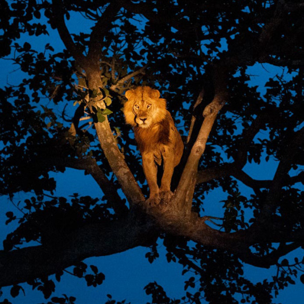 01-tree-climbing-lion-uganda_1600